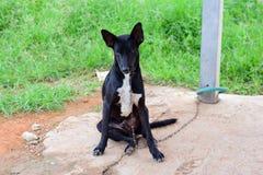 La cara negra del perro, se cierra encima de perro tailandés imágenes de archivo libres de regalías