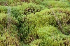La Carelia, palustre di sfagno Fotografia Stock