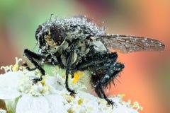 La Carne-mosca común, moscón gris de la carne, mosca, vuela Fotos de archivo