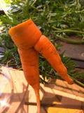 La carotte formée drôle du jardin ressemble aux jambes de l'homme Photographie stock