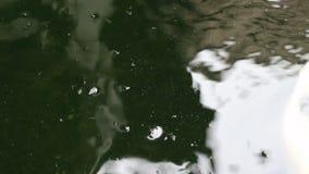 La carpa de Koi de la variedad pesca nadada en la partícula que flota el agua verde almacen de video