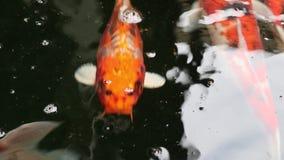 La carpa de Koi de la variedad pesca nadada en la partícula que flota el agua verde metrajes