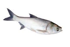La carpa de la plata de los pescados. Fotos de archivo libres de regalías
