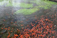La carpa roja en el río Foto de archivo