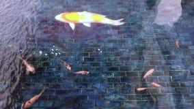 La carpa sta nuotando nello stagno archivi video