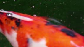 la carpa Suave-enfocada de Koi de la variedad pesca nadada en la partícula que flota el agua verde metrajes
