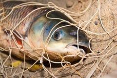 La carpe argentée attrapée dans un réseau Photo libre de droits