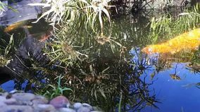 La carpe japonaise dans l'eau, Japonais KOI Carp flotte dans un étang décoratif La carpe ou le Koi Fish de fantaisie sont rouge,  banque de vidéos