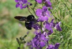 La carpintero-abeja se sienta en una flor púrpura Foto de archivo