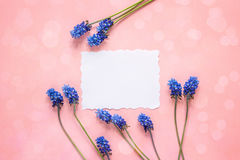 La carte de papier blanc avec le muscari bleu fleurit sur le fond rose P Images libres de droits