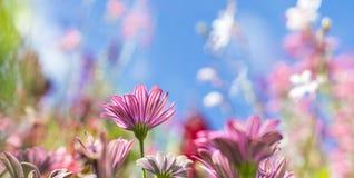 La carte de voeux avec le pré coloré de fleur, été fleurit Pourpre rose photo libre de droits