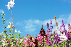 La carte de voeux avec le pré coloré de fleur, été fleurit Pourpre rose photos stock