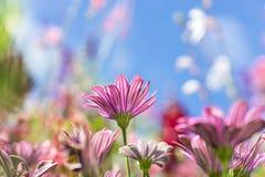 La carte de voeux avec le pré coloré de fleur, été fleurit Pourpre rose photo stock