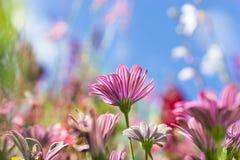 La carte de voeux avec le pré coloré de fleur, été fleurit Pourpre rose photographie stock libre de droits