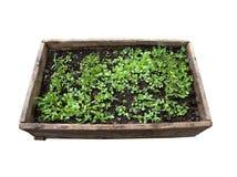 La casella di legno con le piante ha isolato Fotografie Stock Libere da Diritti
