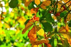 La castaña amarilla y verde deja el crecimiento en el árbol Imagen de archivo libre de regalías