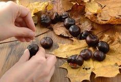 La castaña del pensador figura en tiempo del otoño con los palillos del thooth fotos de archivo libres de regalías