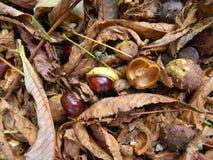 La castaña está en las hojas amarillas caidas Foto de archivo libre de regalías