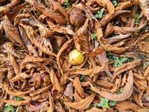 La castaña está en las hojas amarillas caidas Fotografía de archivo libre de regalías