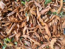 La castaña está en las hojas amarillas caidas Imagenes de archivo