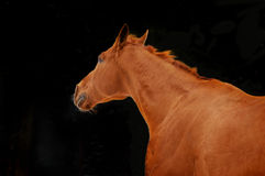 La castaña roja pone el retrato del caballo en la acción en fondo negro Fotos de archivo libres de regalías