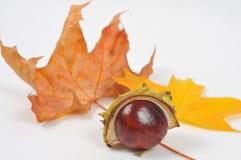 La castaña y las hojas, caída está viniendo Foto de archivo