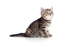 La casta pura británicos rayados del pequeño gatito aisló Fotos de archivo