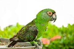 La castagna ha fronteggiato il macaw fotografia stock