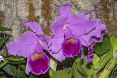 La Cattleya Culminant Tuilerie-Orchidee lizenzfreies stockfoto