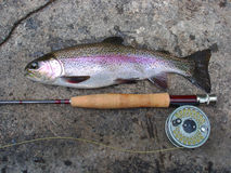 La cattura, pesce della trota iridea immagine stock