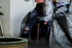 La cause noire de vol de pigeon a effrayé sur le fonctionnement de l'homme Photos libres de droits