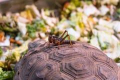 La cavalletta si siede su una tartaruga che mangia fotografia stock