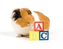 La cavia curiosa sta imparando il ABC Fotografia Stock