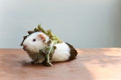 La cavia ha messo la lattuga sulla sua testa e la seduta sullo scrittorio Fotografia Stock Libera da Diritti