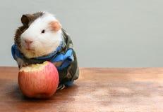 La cavia ha messo sopra i vestiti e morde una mela Fotografia Stock