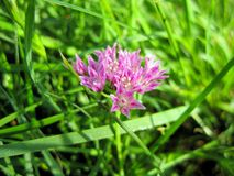 La cebolla de Texas Wild Garlic Flower Drummond púrpura, ajo salvaje, cebolla de la pradera fotografía de archivo libre de regalías