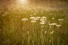 La cebolla florece la floración en el jardín Fotografía de archivo libre de regalías