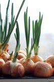 La cebolla germinada crece Foto de archivo