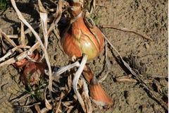 La cebolla madura en el huerto Cosecha para arriba 2 cercanos Foto de archivo libre de regalías