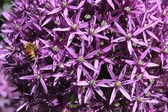 La cebolla púrpura florece el fondo Imagen de archivo