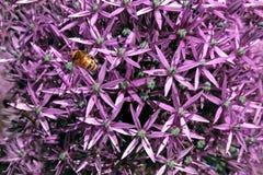 La cebolla púrpura florece el fondo Imagenes de archivo