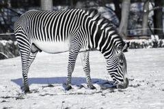 La cebra blanco y negro que pone en contraste pasta en el invierno en una nieve fotos de archivo libres de regalías