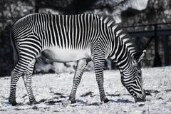 La cebra blanco y negro que pone en contraste pasta en el invierno en una nieve imagen de archivo libre de regalías