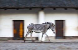 La cebra camina en una pajarera del parque zoológico Foto de archivo