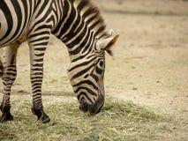 La cebra común, aka los llanos cebra, quagga del Equus, comiendo el heno foto de archivo libre de regalías