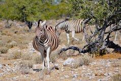 La cebra de Burchell embarazada en Namibia África Fotos de archivo libres de regalías