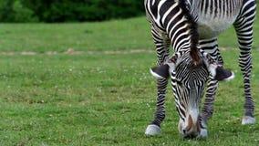 La cebra de Grévy (lat Grevyi del Equus) almacen de video