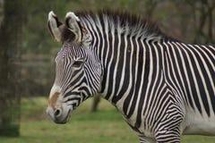 La cebra de Grevy - grevyi del Equus Fotografía de archivo libre de regalías