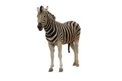 La cebra es bien sabido en África con sus marcas distintivas fotos de archivo libres de regalías