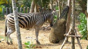 La cebra está comiendo el heno en un saco en el parque zoológico abierto de Khao Kheow tailandia metrajes